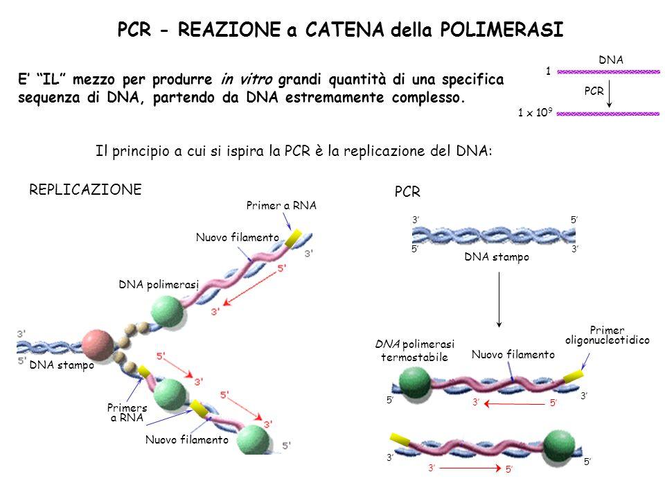 Le FASI della PCR Allungamento (~ 70°C) Denaturazione (~ 95°C) Annealing (~ 60°C) DENATURAZIONE: Il DNA viene denaturato mediante riscaldamento in provetta a ~ 92-95°C ANNEALING: La miscela viene raffreddata fino a raggiungere la temperatura che garantisce la specifica ibridazione dei primers alle regioni dello stampo ad essi complementari ALLUNGAMENTO: La temperatura della miscela viene portata a 68-72°C consentendo alla DNA polimerasi termostabile di sintetizzare il filamento complementare allo stampo a partire dallinnesco oligonucleotidico