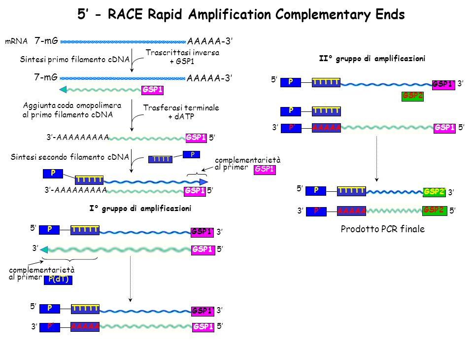 Sintesi primo filamento cDNA AAAAA-3 7-mG Aggiunta coda omopolimera al primo filamento cDNA Trasferasi terminale + dATP Trascrittasi inversa + GSP1 GSP1 5 3-AAAAAAAAA Sintesi secondo filamento cDNA AAAAA-3 7-mG mRNA GSP1 5 3-AAAAAAAAA GSP1 TTTTT P GSP1 complementarietà al primer GSP1 complementarietà al primer P(dT) TTTT P TTTTTP GSP1 I° gruppo di amplificazioni 5 5 3 3 5AAAAAP GSP13 TTTTTP GSP1 5 3 II° gruppo di amplificazioni TTTTTP GSP1 5 3 GSP2 5AAAAAP GSP13 TTTTTP 5AAAAAP 3 GSP2 TTTTTP 5 3 GSP2 Prodotto PCR finale 5 - RACE Rapid Amplification Complementary Ends