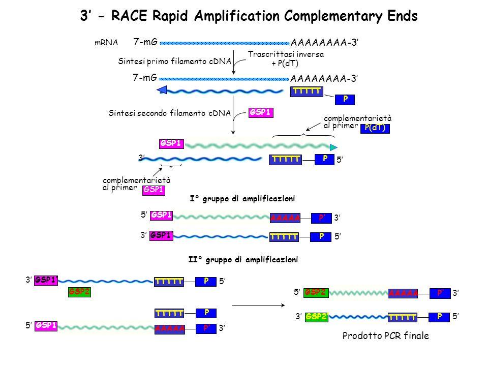3 - RACE Rapid Amplification Complementary Ends Sintesi primo filamento cDNA AAAAAAAA-3 7-mG Trascrittasi inversa + P(dT) AAAAAAAA-3 7-mG mRNA TTTTT P
