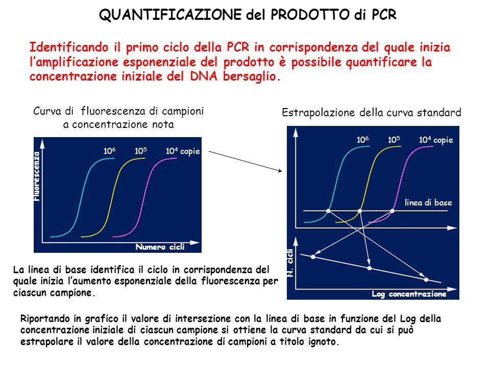 QUANTIFICAZIONE del PRODOTTO di PCR Identificando il primo ciclo della PCR in corrispondenza del quale inizia lamplificazione esponenziale del prodotto è possibile quantificare la concentrazione iniziale del DNA bersaglio.