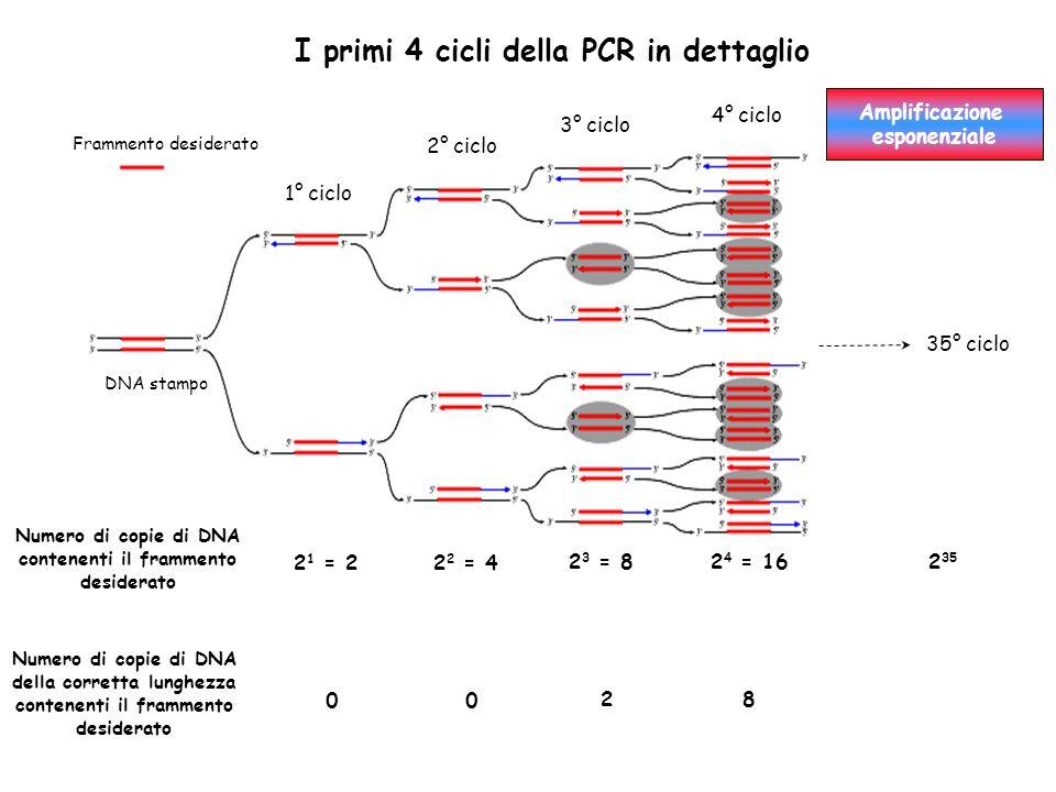 I primi 4 cicli della PCR in dettaglio DNA stampo Frammento desiderato 1° ciclo 2° ciclo 3° ciclo 4° ciclo 35° ciclo Amplificazione esponenziale 2 1 = 22 2 = 4 2 3 = 82 4 = 162 35 Numero di copie di DNA contenenti il frammento desiderato Numero di copie di DNA della corretta lunghezza contenenti il frammento desiderato 00 28