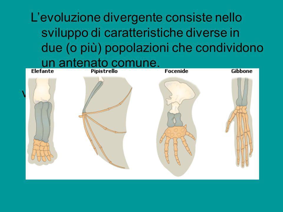 Levoluzione divergente consiste nello sviluppo di caratteristiche diverse in due (o più) popolazioni che condividono un antenato comune. varietà diver