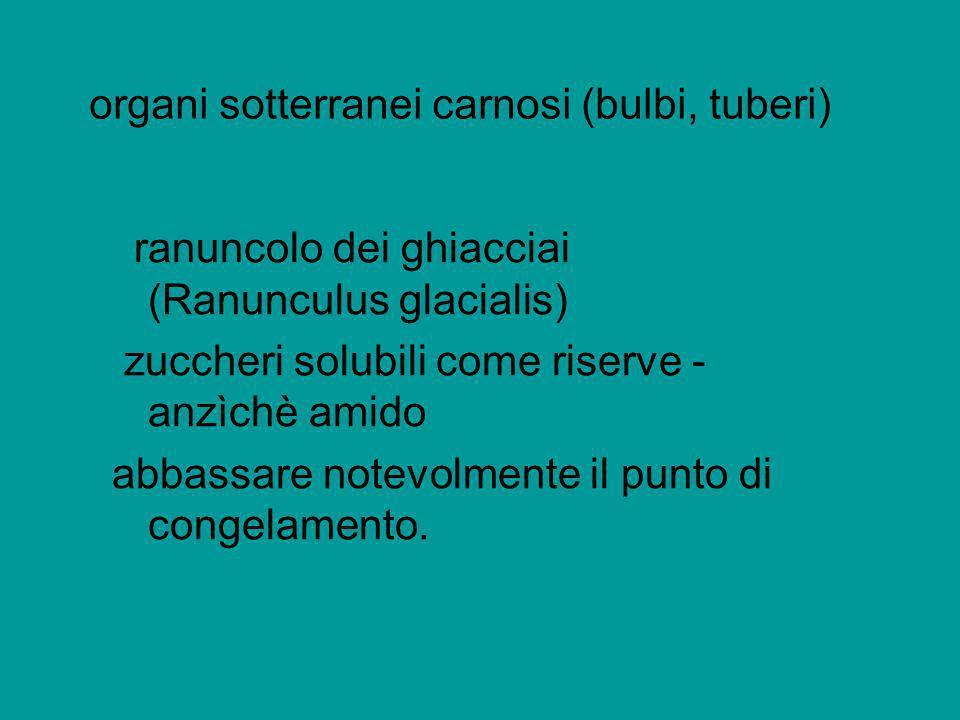organi sotterranei carnosi (bulbi, tuberi) ranuncolo dei ghiacciai (Ranunculus glacialis) zuccheri solubili come riserve - anzìchè amido abbassare not