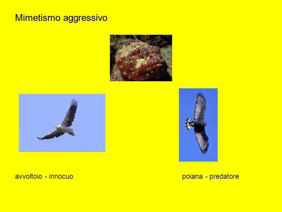 Mimetismo aggressivo avvoltoio - innocuopoiana - predatore
