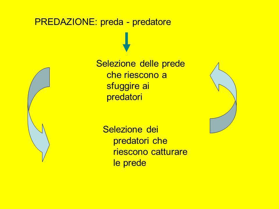 PREDAZIONE: preda - predatore Selezione delle prede che riescono a sfuggire ai predatori Selezione dei predatori che riescono catturare le prede