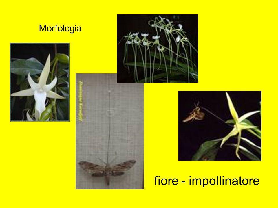 fiore - impollinatore Morfologia
