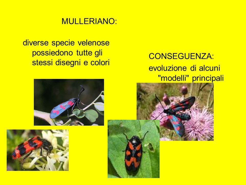 MULLERIANO: diverse specie velenose possiedono tutte gli stessi disegni e colori CONSEGUENZA: evoluzione di alcuni