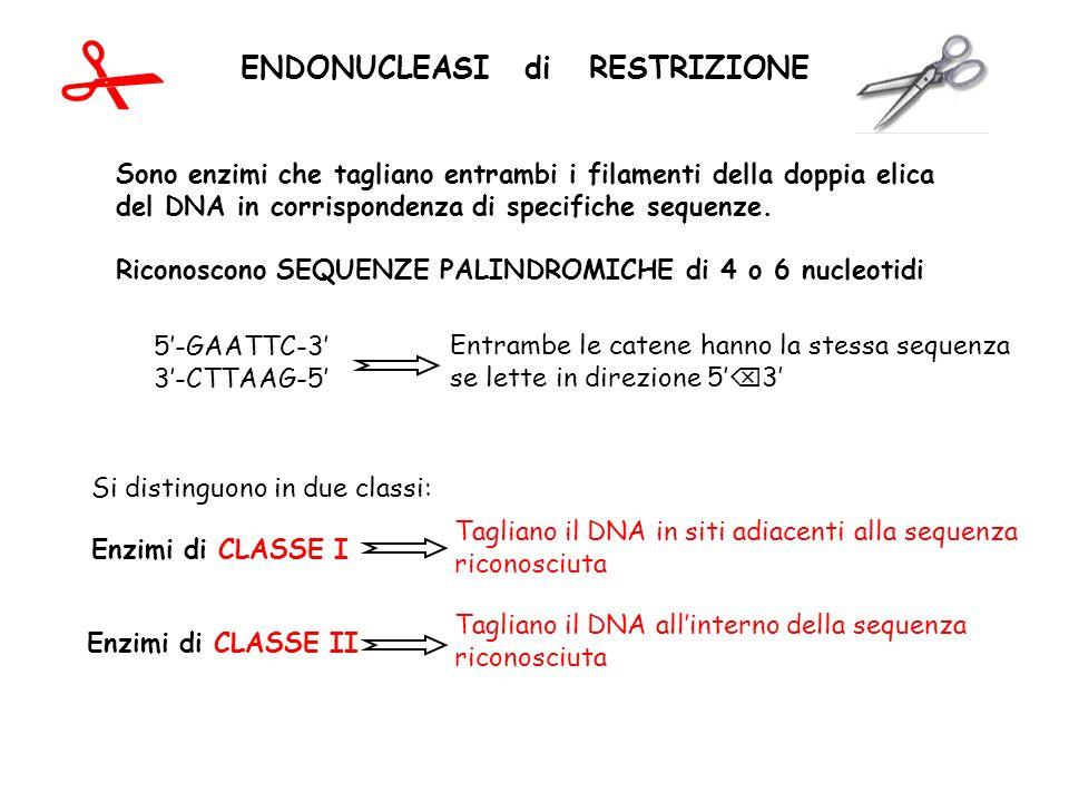 ENDONUCLEASI di RESTRIZIONE Si distinguono in due classi: Enzimi di CLASSE I Tagliano il DNA in siti adiacenti alla sequenza riconosciuta Enzimi di CL