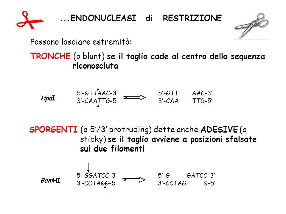 ...ENDONUCLEASI di RESTRIZIONE Possono lasciare estremità: TRONCHE (o blunt) se il taglio cade al centro della sequenza riconosciuta SPORGENTI (o 5/3