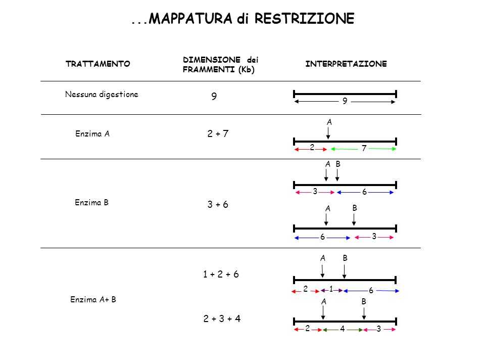 ...MAPPATURA di RESTRIZIONE 6 21 AB TRATTAMENTO DIMENSIONE dei FRAMMENTI (Kb) INTERPRETAZIONE Nessuna digestione Enzima A Enzima B Enzima A+ B 9 A 2 7