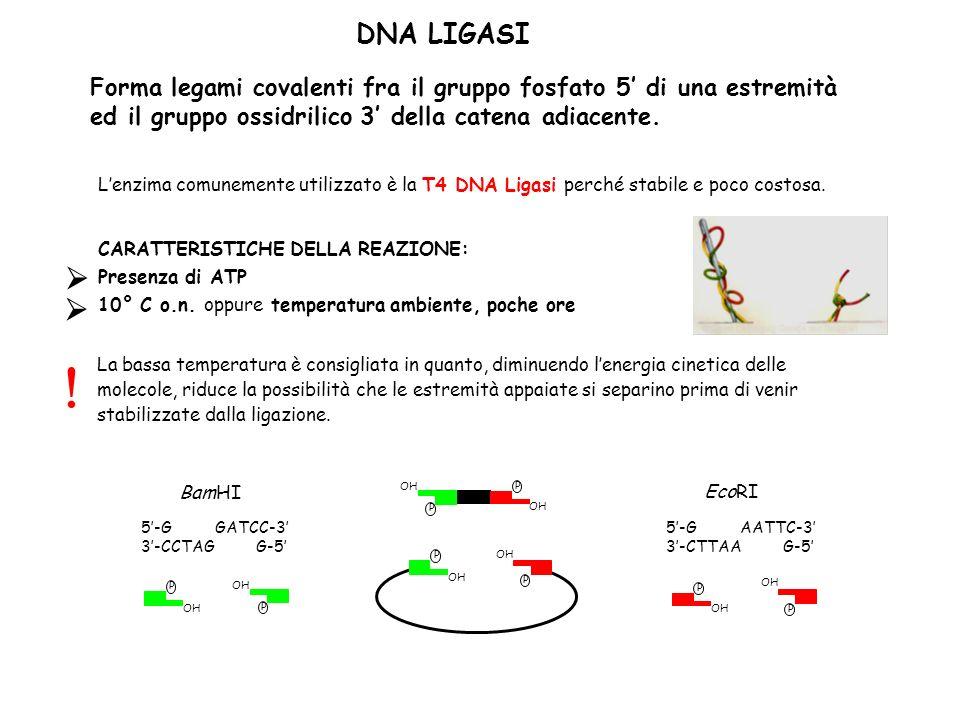 OH P P P P DNA LIGASI Forma legami covalenti fra il gruppo fosfato 5 di una estremità ed il gruppo ossidrilico 3 della catena adiacente. Lenzima comun