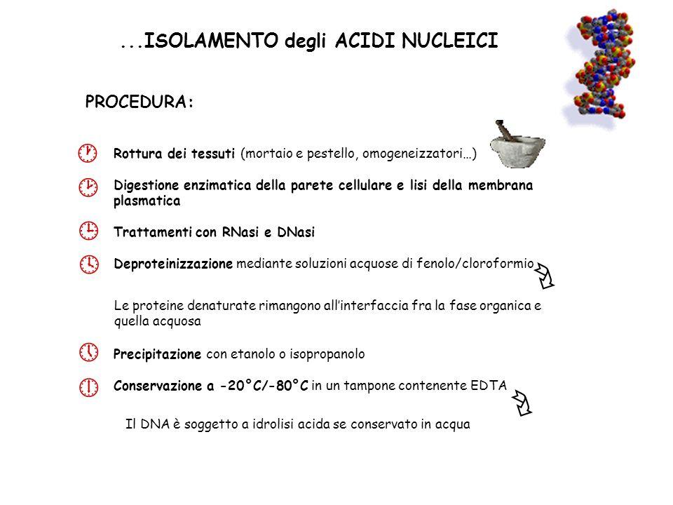 ...ISOLAMENTO degli ACIDI NUCLEICI Rottura dei tessuti (mortaio e pestello, omogeneizzatori…) Digestione enzimatica della parete cellulare e lisi dell