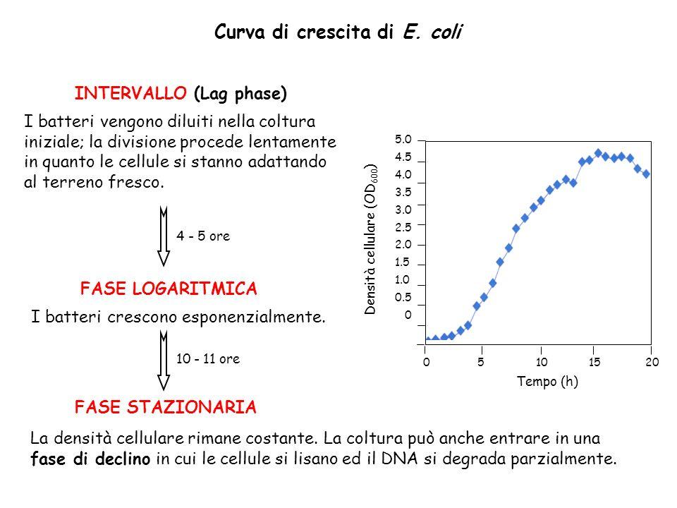 Curva di crescita di E. coli INTERVALLO (Lag phase) I batteri vengono diluiti nella coltura iniziale; la divisione procede lentamente in quanto le cel