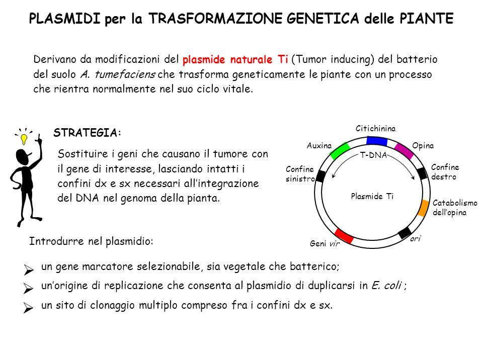 PLASMIDI per la TRASFORMAZIONE GENETICA delle PIANTE Derivano da modificazioni del plasmide naturale Ti (Tumor inducing) del batterio del suolo A. tum