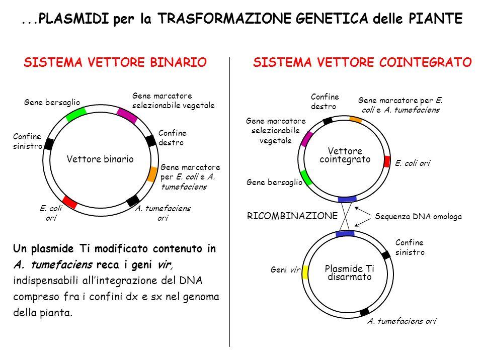 ...PLASMIDI per la TRASFORMAZIONE GENETICA delle PIANTE SISTEMA VETTORE BINARIOSISTEMA VETTORE COINTEGRATO Un plasmide Ti modificato contenuto in A. t