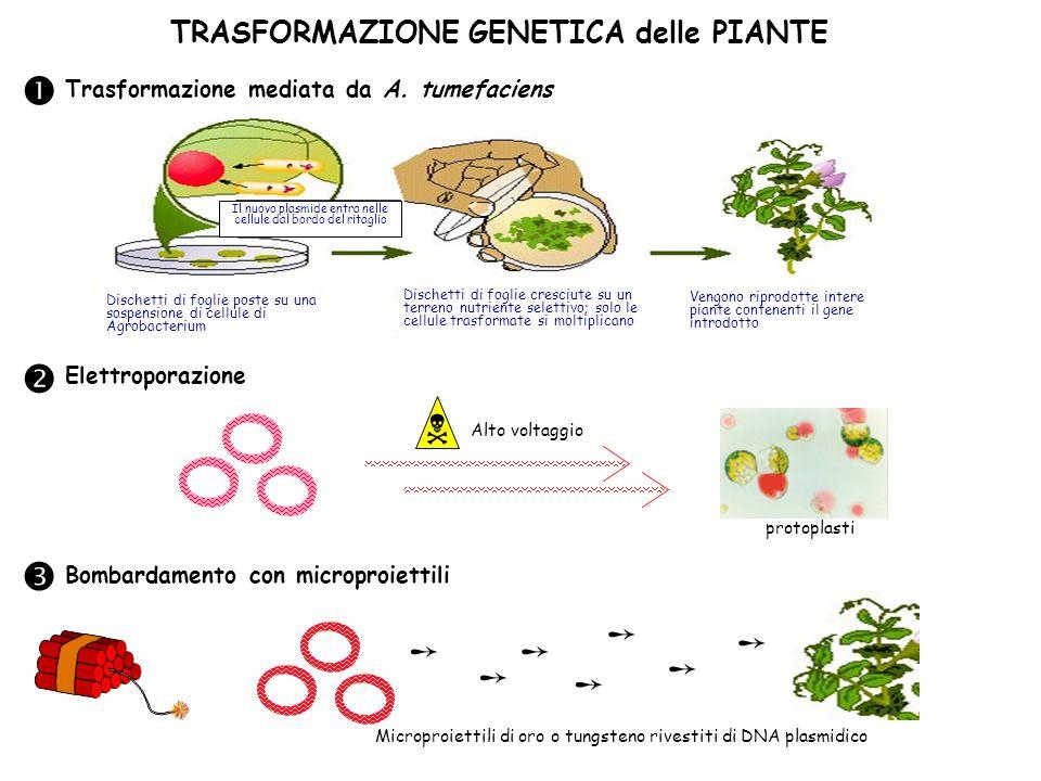 TRASFORMAZIONE GENETICA delle PIANTE Il nuovo plasmide entra nelle cellule dal bordo del ritaglio Dischetti di foglie poste su una sospensione di cell