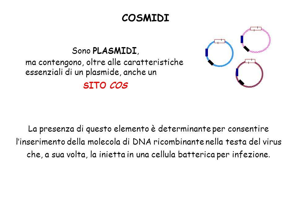 COSMIDI Sono PLASMIDI, ma contengono, oltre alle caratteristiche essenziali di un plasmide, anche un SITO COS La presenza di questo elemento è determi