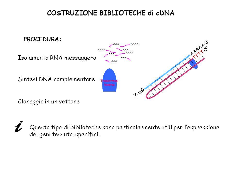 COSTRUZIONE BIBLIOTECHE di cDNA PROCEDURA: Isolamento RNA messaggero Clonaggio in un vettore AAA AAAA AAA AAAA AAA AAAA Sintesi DNA complementare Tras
