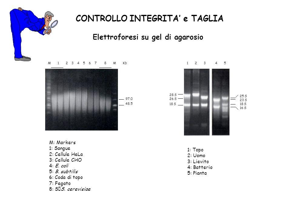 CONTROLLO INTEGRITA e TAGLIA Elettroforesi su gel di agarosio 1 2 3 4 5 28 S 26 S 18 S 25 S 23 S 18 S 16 S M 1 2 3 4 5 6 7 8 M Kb 97.0 48.5 M: Markers