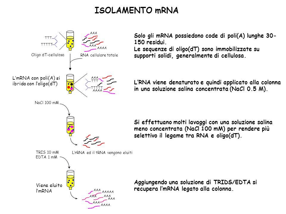 Solo gli mRNA possiedono code di poli(A) lunghe 30- 150 residui. Le sequenze di oligo(dT) sono immobilizzate su supporti solidi, generalmente di cellu