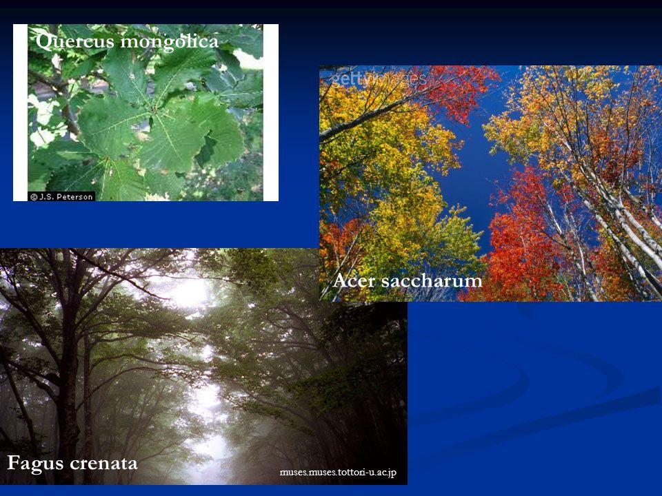Quercus mongolica Fagus crenata muses.muses.tottori-u.ac.jp Acer saccharum