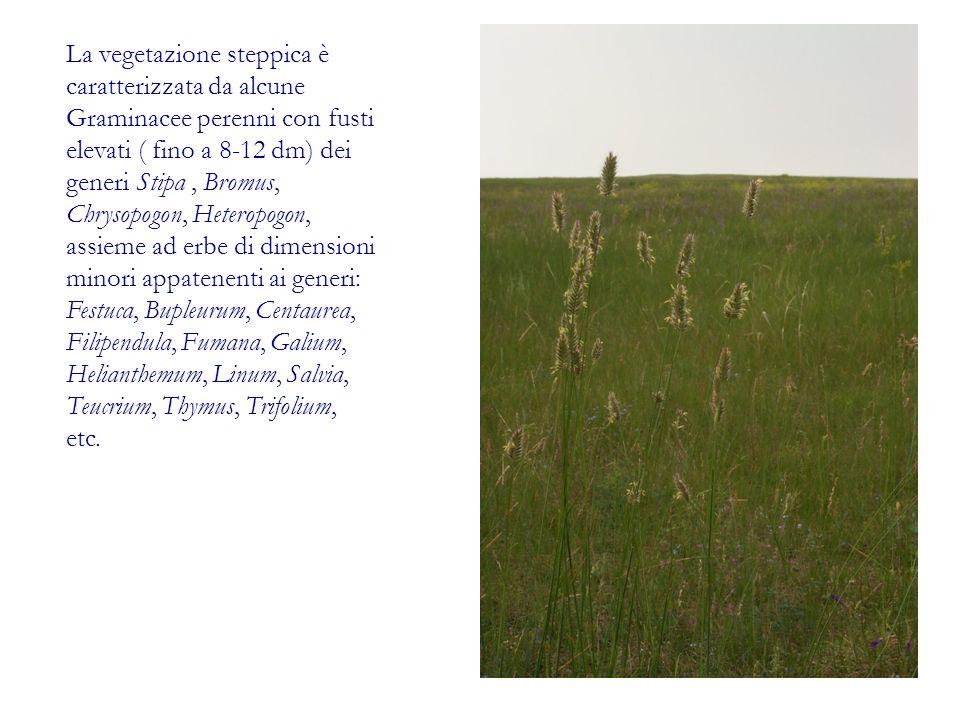La vegetazione steppica è caratterizzata da alcune Graminacee perenni con fusti elevati ( fino a 8-12 dm) dei generi Stipa, Bromus, Chrysopogon, Heter