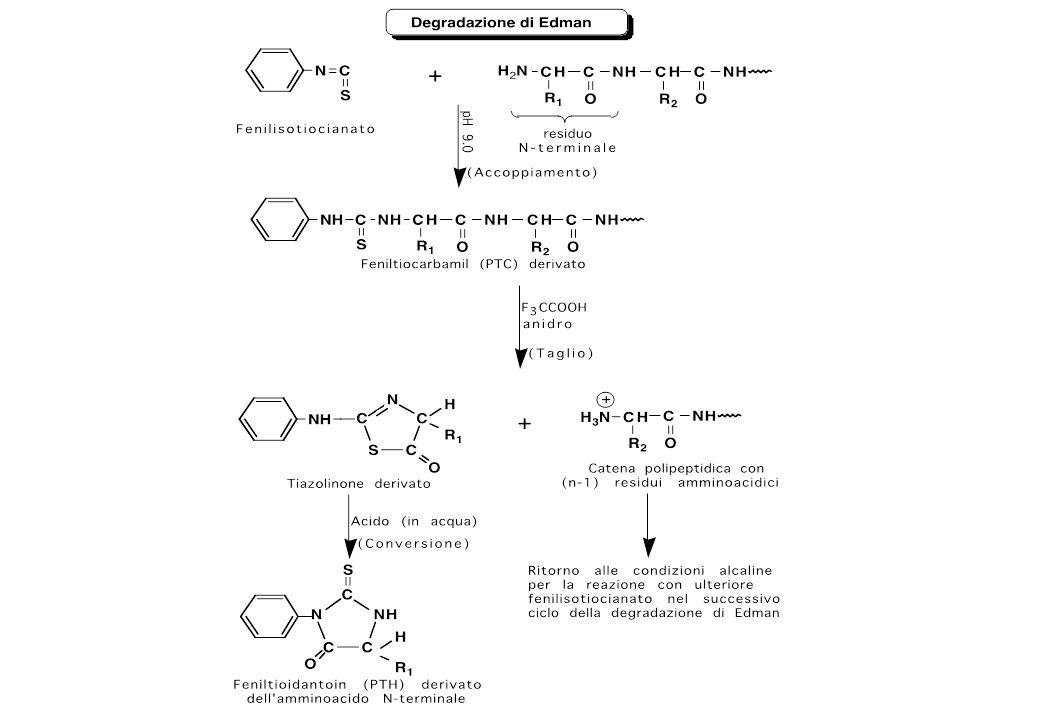 Proteina intatta 1 2 3 4 Ala-Leu-Thr-Pro............