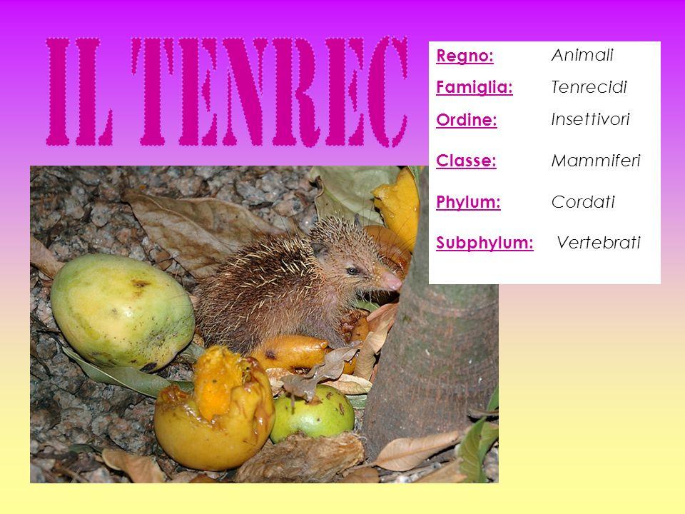 Regno: Animali Famiglia: Tenrecidi Ordine: Classe: Phylum: Subphylum: Insettivori Mammiferi Cordati Vertebrati