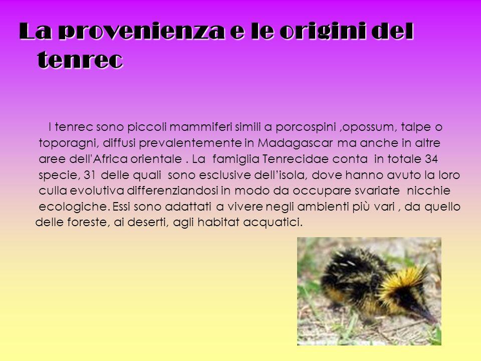 La provenienza e le origini del tenrec I tenrec sono piccoli mammiferi simili a porcospini,opossum, talpe o toporagni, diffusi prevalentemente in Madagascar ma anche in altre aree dell Africa orientale.