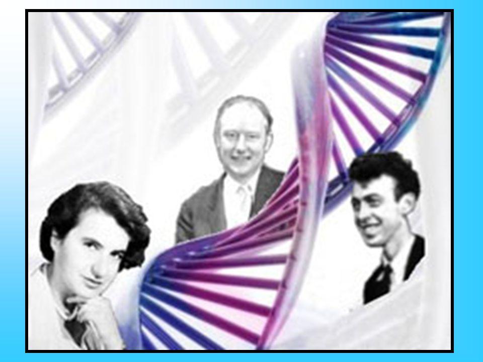 A lla sua stessa ricerca sul DNA lavoravano tre ricercatori-uomini: James Watson, un biologo americano che aveva otto anni meno di lei, Francis Crick, nato nel 1916, e Maurice Wilkins, anchegli nato nel 1916 e specializzato in biofisica.