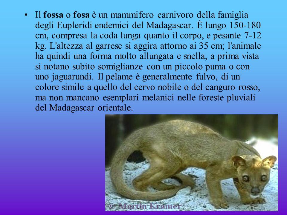 Il fossa o fosa è un mammifero carnivoro della famiglia degli Eupleridi endemici del Madagascar. È lungo 150-180 cm, compresa la coda lunga quanto il