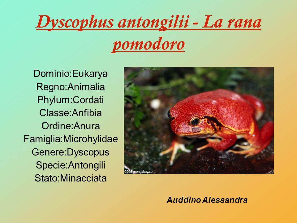 Dyscophus antongilii - La rana pomodoro Dominio:Eukarya Regno:Animalia Phylum:Cordati Classe:Anfibia Ordine:Anura Famiglia:Microhylidae Genere:Dyscopu