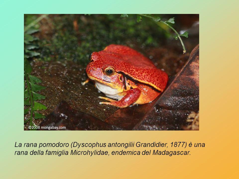 La rana pomodoro (Dyscophus antongilii Grandidier, 1877) è una rana della famiglia Microhylidae, endemica del Madagascar.