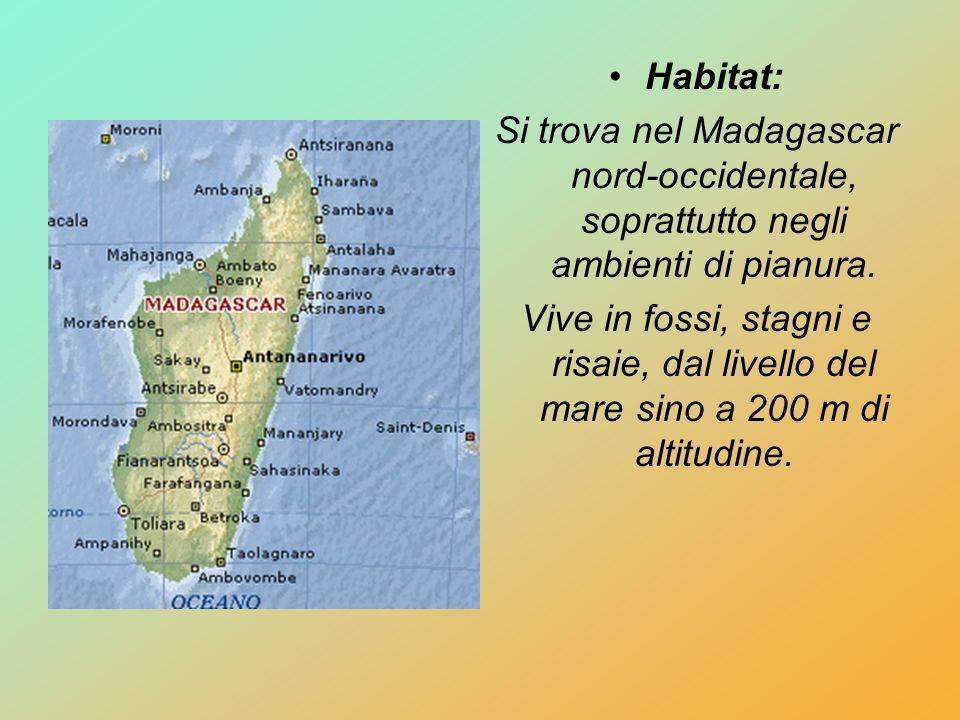 Habitat: Si trova nel Madagascar nord-occidentale, soprattutto negli ambienti di pianura. Vive in fossi, stagni e risaie, dal livello del mare sino a
