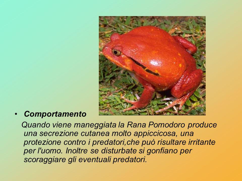 Comportamento Quando viene maneggiata la Rana Pomodoro produce una secrezione cutanea molto appiccicosa, una protezione contro i predatori,che può ris
