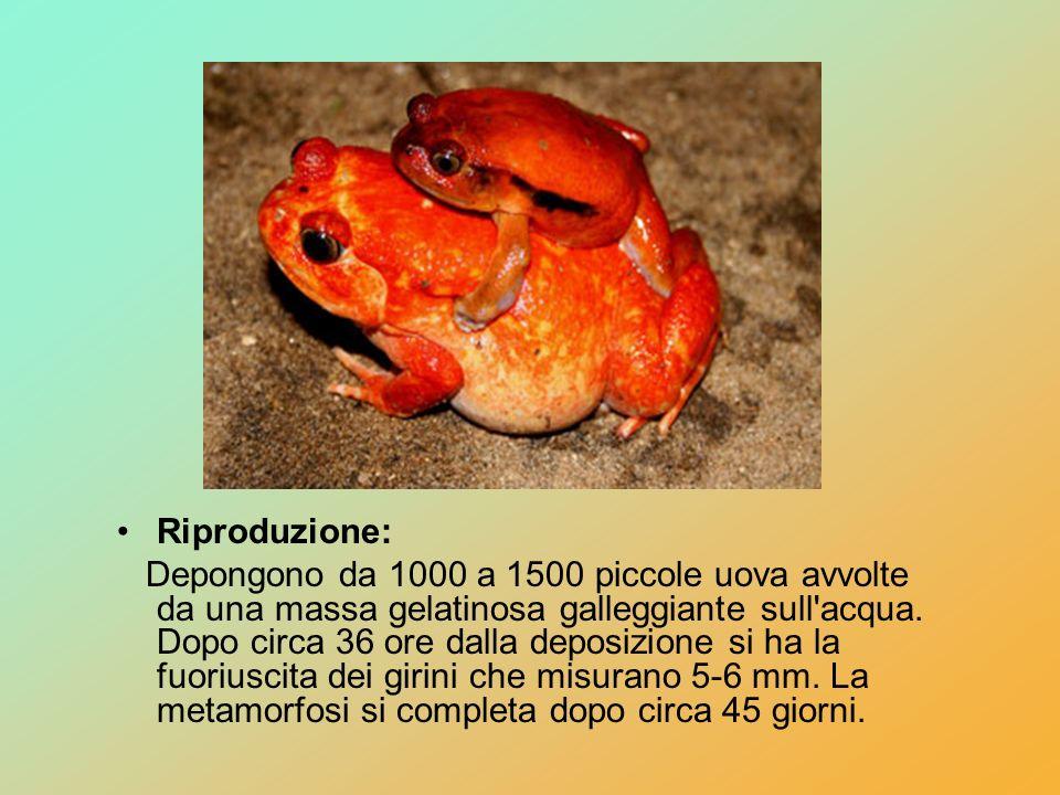 Riproduzione: Depongono da 1000 a 1500 piccole uova avvolte da una massa gelatinosa galleggiante sull'acqua. Dopo circa 36 ore dalla deposizione si ha