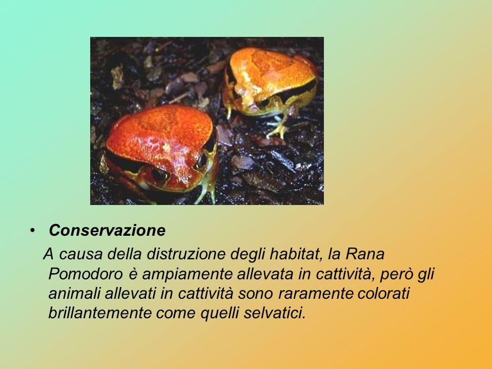 Conservazione A causa della distruzione degli habitat, la Rana Pomodoro è ampiamente allevata in cattività, però gli animali allevati in cattività son