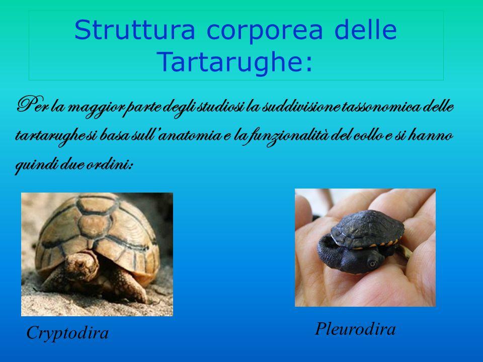 Struttura corporea delle Tartarughe: Per la maggior parte degli studiosi la suddivisione tassonomica delle tartarughe si basa sullanatomia e la funzionalità del collo e si hanno quindi due ordini: Cryptodira Pleurodira