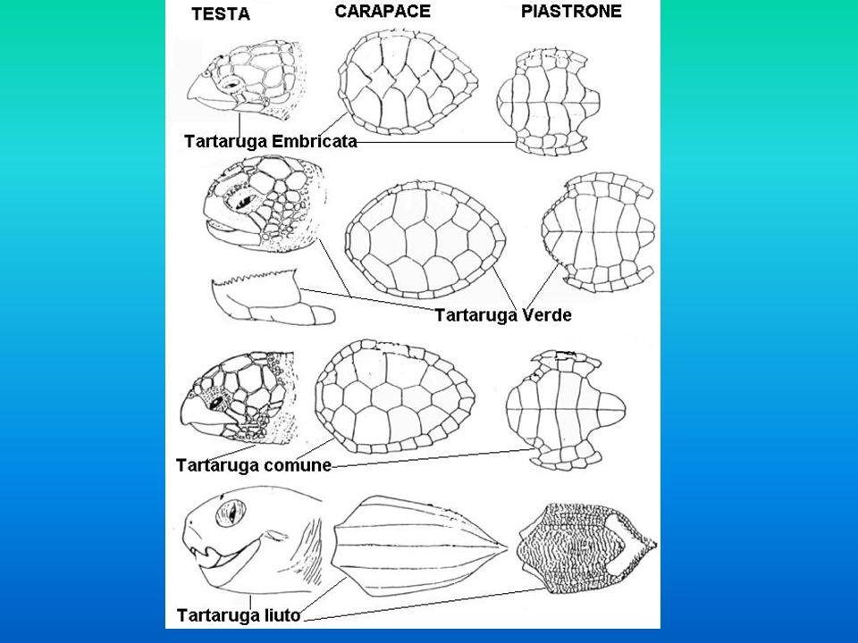Il carapace della tartaruga costituisce la sua armatura e può rifugiarsi al suo interno quando corre un rischio potenziale; è una struttura solida e rigida che si può suddividere in 3 parti: - la parte dorsale chiamata corazza - la parte ventrale chiamata piastrone - i ponti ossei che collegano queste due parti