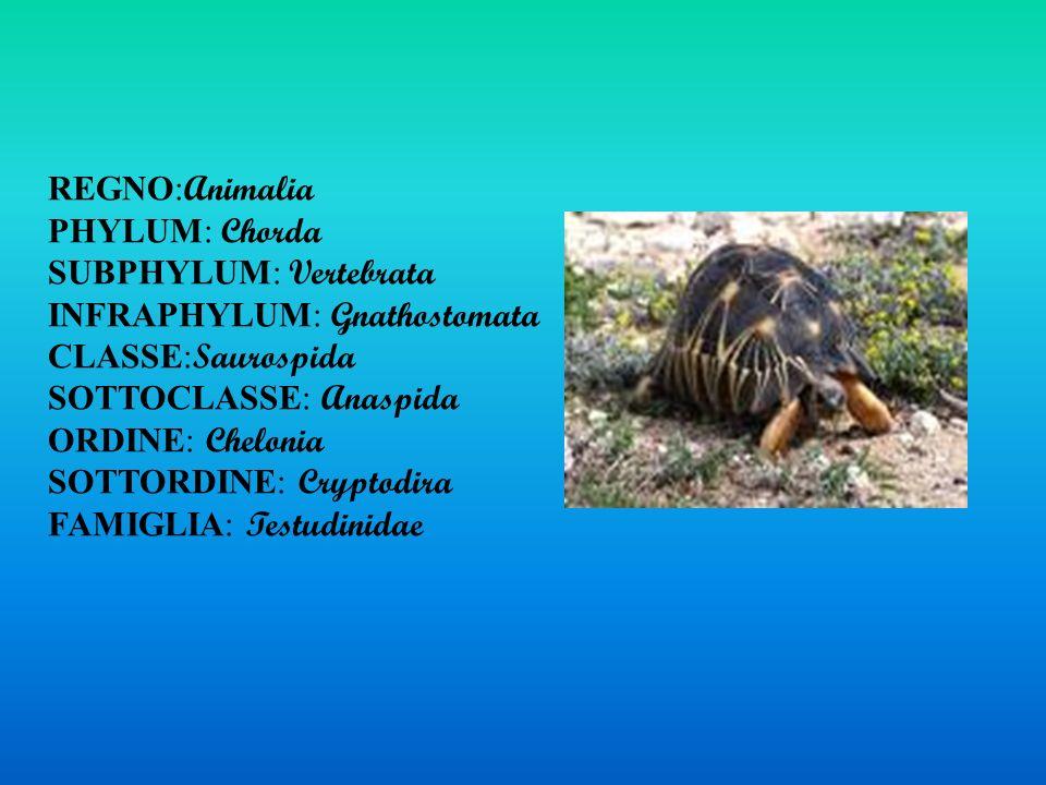 REGNO: Animalia PHYLUM: Chorda SUBPHYLUM: Vertebrata INFRAPHYLUM: Gnathostomata CLASSE: Saurospida SOTTOCLASSE: Anaspida ORDINE: Chelonia SOTTORDINE: Cryptodira FAMIGLIA: Testudinidae