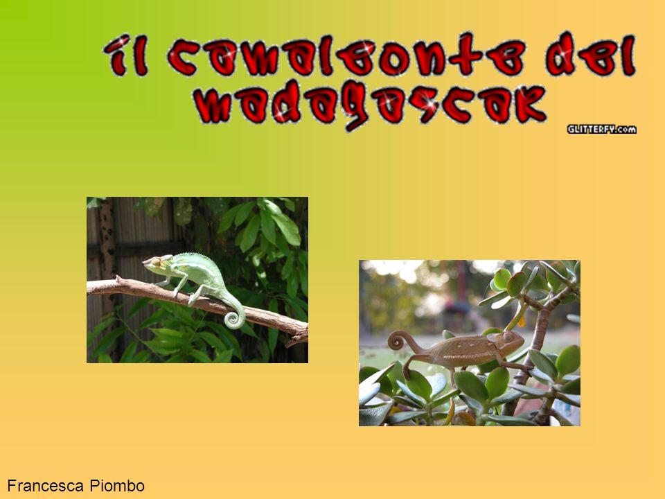 Tra gli animali del Madagascar in via destinzione vi sono i rettili e, tra quest ultimi, vi è il camaleonte.