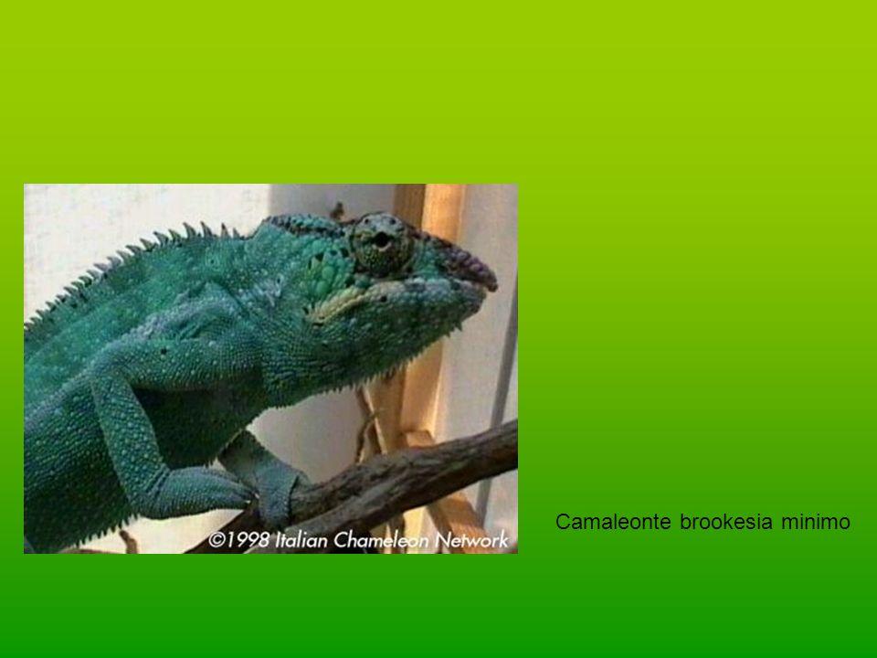 Camaleonte brookesia minimo