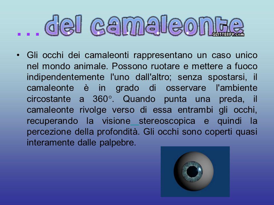 Gli occhi dei camaleonti rappresentano un caso unico nel mondo animale. Possono ruotare e mettere a fuoco indipendentemente l'uno dall'altro; senza sp