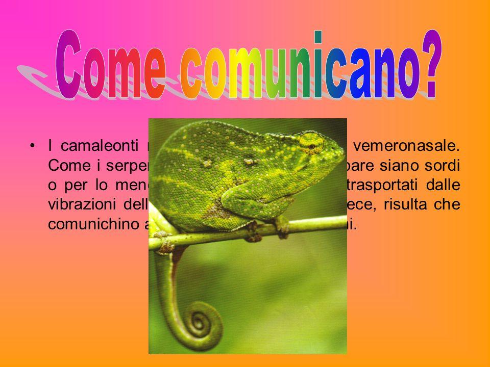I camaleonti non sono dotati di organo vemeronasale. Come i serpenti, non hanno orecchie e pare siano sordi o per lo meno, incapaci di udire suoni tra