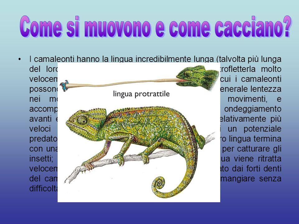 I camaleonti hanno la lingua incredibilmente lunga (talvolta più lunga del loro stesso corpo), e sono in grado di estrofletterla molto velocemente; in