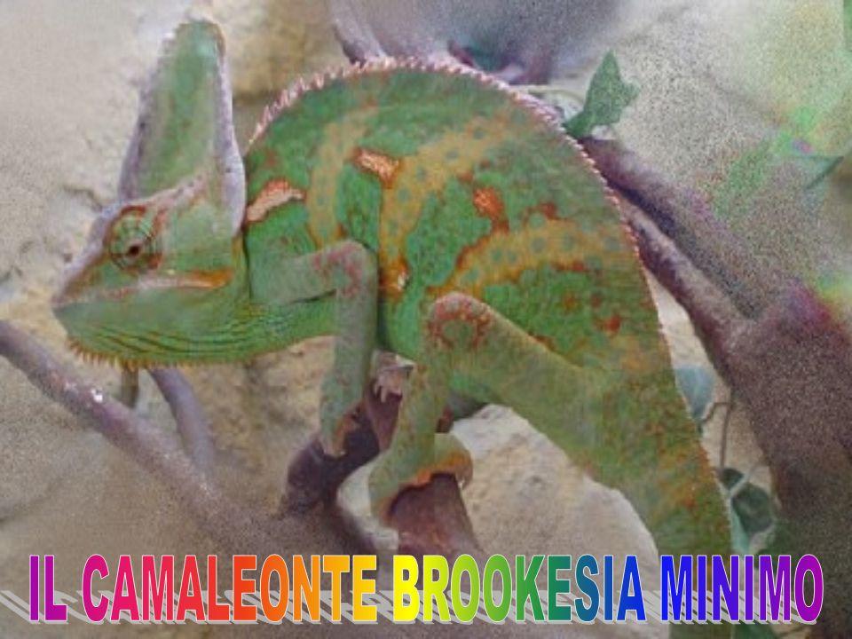 Il Furcifer pardalis è un camaleonte diffuso unicamente nell area nord dell isola malgascia (Madagascar, Oceano Indiano, a sud est del continente Africano), isole comprese, ed è rappresentato da un unica specie.