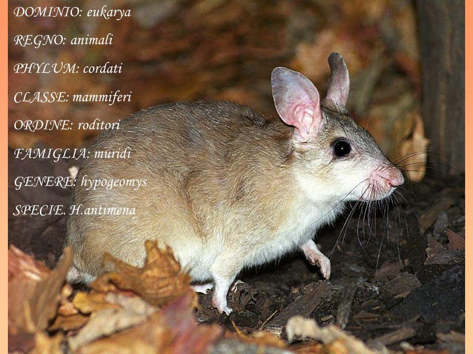 DOMINIO: eukarya REGNO: animali PHYLUM: cordati CLASSE: mammiferi ORDINE: roditori FAMIGLIA: muridi GENERE: hypogeomys SPECIE. H.antimena