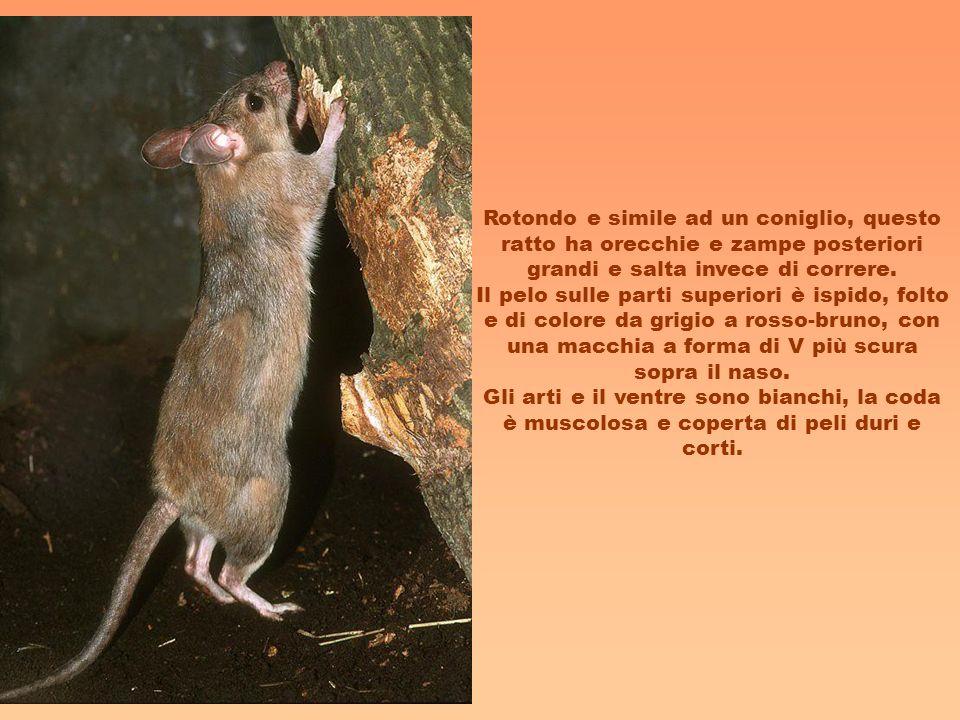 Rotondo e simile ad un coniglio, questo ratto ha orecchie e zampe posteriori grandi e salta invece di correre. Il pelo sulle parti superiori è ispido,