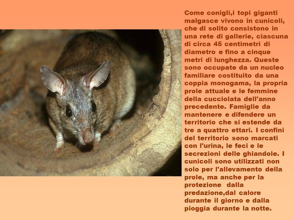 Come conigli,i topi giganti malgasce vivono in cunicoli, che di solito consistono in una rete di gallerie, ciascuna di circa 45 centimetri di diametro