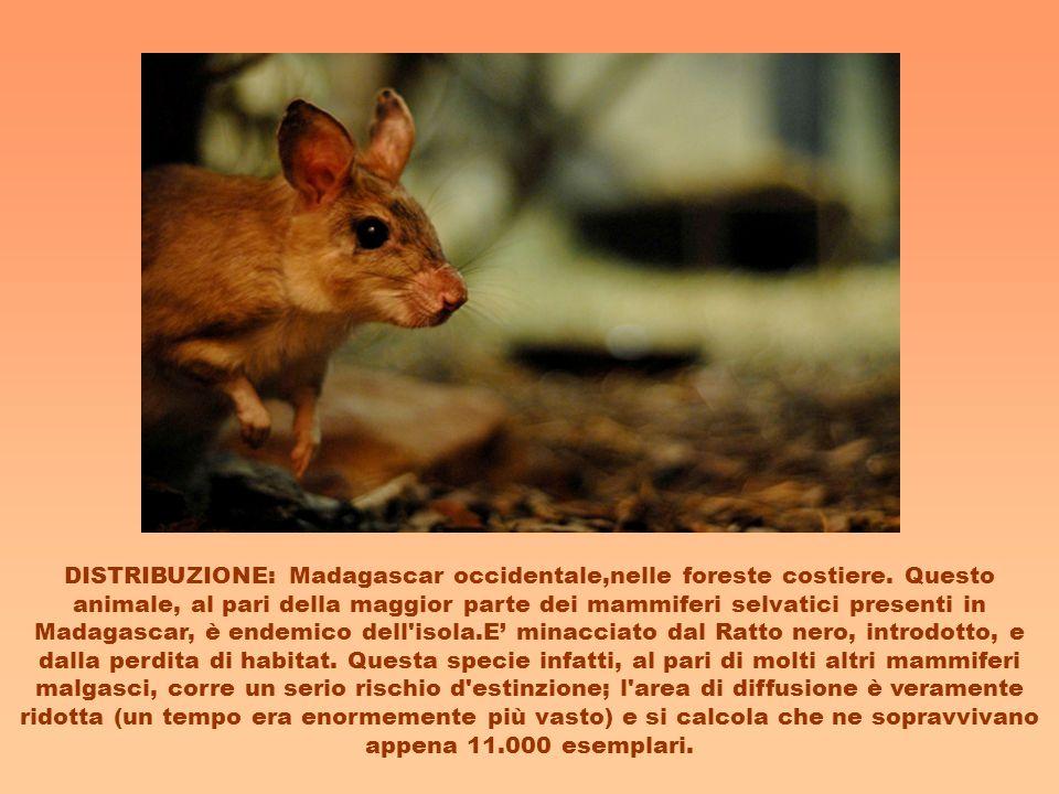 DISTRIBUZIONE: Madagascar occidentale,nelle foreste costiere. Questo animale, al pari della maggior parte dei mammiferi selvatici presenti in Madagasc